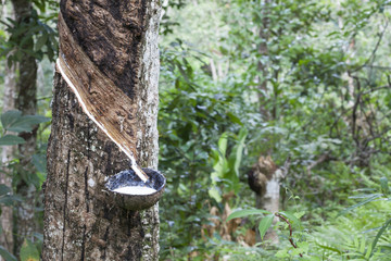 Rubber Latex  from rubber tree (Hevea Brasiliensis) in the garde