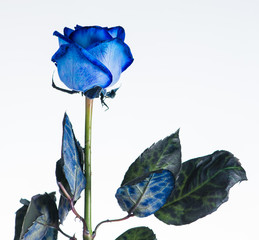 Blue rose close up isolated on white