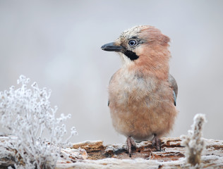 Eurasian jay in winter