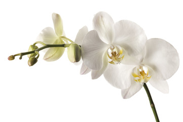 Tuinposter Orchidee White dendrobium orchid isolated on white background.