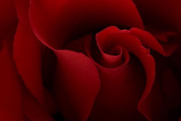dark moody red rose background