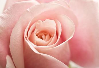 Pink Rose Flower Floral Roses