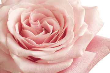 pink rose closeup