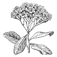 Service tree or sorbus domestica , vintage engraving.
