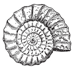 Ammonite, vintage engraving.