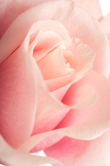 pink rose with selective focus background