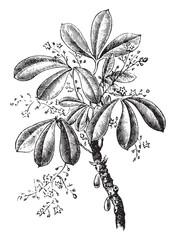 Siphonia elastic, vintage engraving.