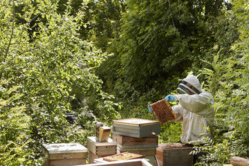 A beekeeper inspecting the bee hives in an allotment garden plot.