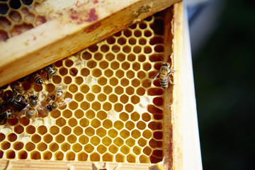 A group of bees on a wooden frame or super with honeycomb structure.