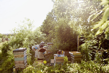 A beekeeper in a protective suit and face covering inspecting the frames in his bee hives.