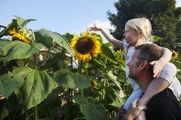 A girl seated on her father's shoulders, reaching to touch a sunflower in full bloom.