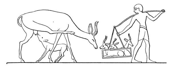 Gazelle domesticity, vintage engraving.