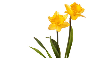 Deurstickers Narcis yellow daffodil isolated on white background