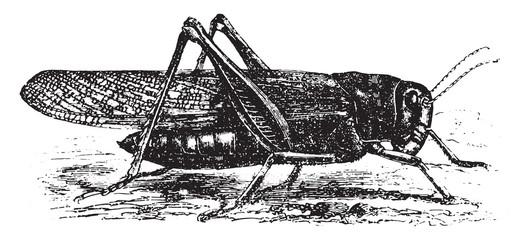 Cricket (Pachytylus migratorius), vintage engraving.