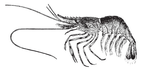 Palaemon or shrimp, vintage engraving.