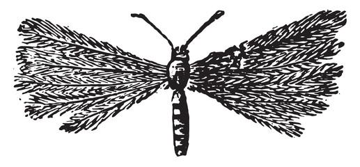 Pterophorus pentadactyla, vintage engraving.