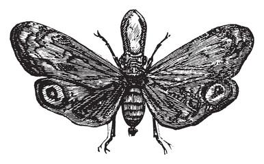 Fulgora laternaria, vintage engraving.
