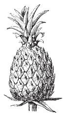 Pineapple, vintage engraving.