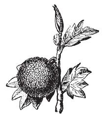 Artocarpus, vintage engraving.