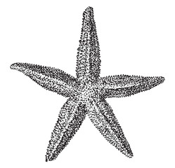 Starfish, vintage engraving.