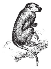 Baboon, vintage engraving.