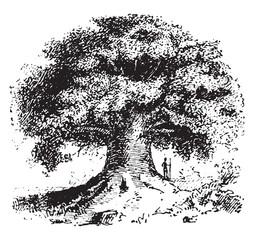 Baobab, vintage engraving.