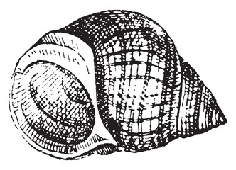 Common periwinkle, vintage engraving.