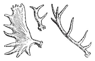 Antlers, vintage engraving.