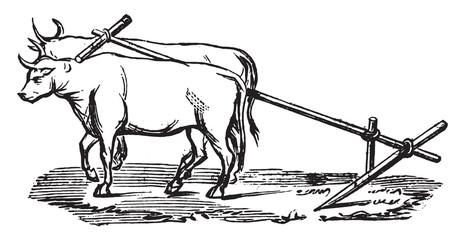 Polish plow, vintage engraving.