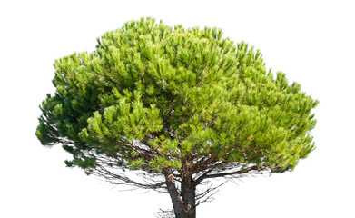 Stone pine, Pinus Pinea, isolated on white background