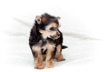 Chinese puppy dogs