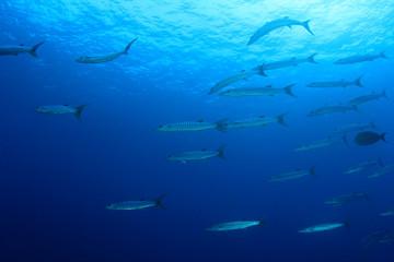 School Barracuda fish underwater
