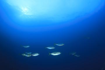 Mackerel fish school underwater ocean sea