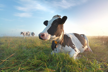 cow on pasture at sunrise