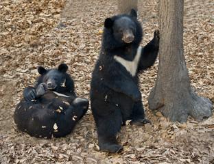 Bear   whitechest , Himalayan  bear