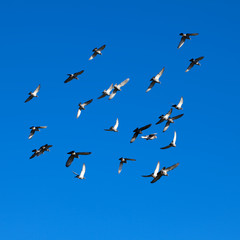 Tamed pigeons flying free in the vivid blue, clear skies