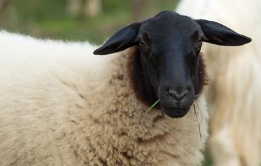 rhoen sheep closeup