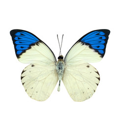 Great blue Tip butterfly isolated on white