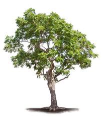 Old neem tree isolated on white background