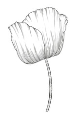 beautiful monochrome black and white poppy in a hand-drawn graphic style in vintage colors isolated on background.