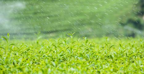 Green tea leaf with dew