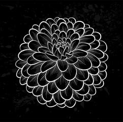 beautiful monochrome black and white dahlia flower