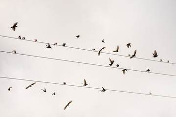 Birds on the wire  of electricity