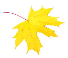 Autumn maple leaf, isolated on white