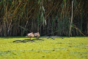 Wild ducks sitting on fishing net in the Danube Delta, Romania