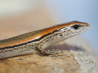 Shallow Depth of Field Closeup of Ground Skink