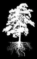 isolated white high pine tree with root