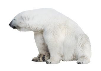 geïsoleerde zittende witte ijsbeer