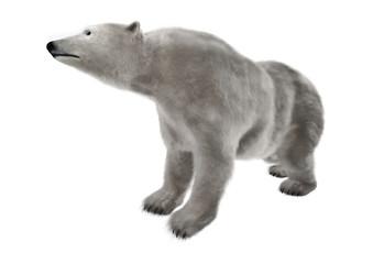 Polar Bear on White