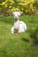 Baby llama lying down on the sun after feeding